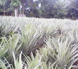25 prchs LAND with Pineapple cultivation FOR SALE