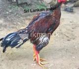 Aseel bird