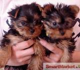 Yorkshire Terrier teacup puppies for **RE-HOMING**