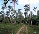 cultivated pepper coconut land