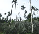 Eco Friendly Agricultural Land for Sale in Mirigama, Gampaha.