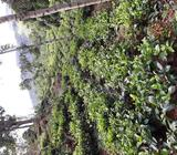Cultivated / Bare land for sale in Galaha
