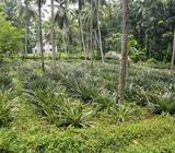 Cultivated Land For Sale | 01 Acre | Minuwangoda