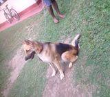 Lion sehpherd dog