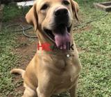 labrador retriever - male for stud