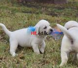 ckc registered labrador retriever male available for crossing. golden brown, very playful and health