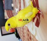 hand tamed indian yellow ringneck baby parrot