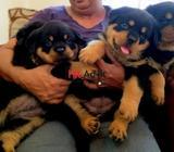 registered purebred rottweiler puppies