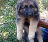 Quality Lion Shepherd Puppies