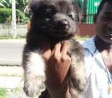 Original Lion Shepherd (male) Puppy
