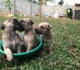 Bullmastiff German Shepherd Cross Puppies
