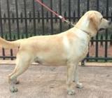 Show Quality Labrador Dog for Crossing