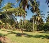 Organic Coconut Estate in Dodangaslanda, Kurunegala