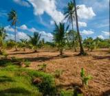 (LS170) Coconut Estate Andiagama