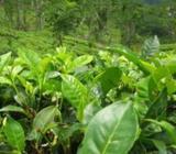 Tea Estate for sale in Udugama,Galle