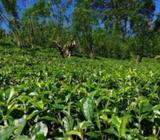 Tea Estate Land for Sale in Galle