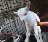 Sanan Goats