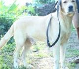 Labrado Male Dog