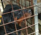 Rottweiler Male Dog