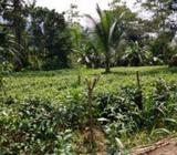 Tea Estate Sale in Neluwa