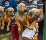 Ridgeback Puppies