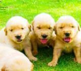 Golden Retriever Puppies (CKC Registered