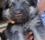German shepherd dog for sell