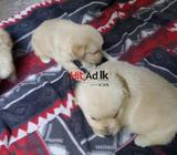 golden retriever puppies for sale!!
