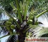 10 coconut acres in Hettipola