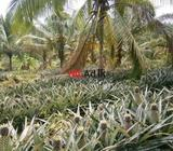 1.37 acre cultivated land for sale in gampaha district