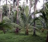 A well maintained Coconut Estate for sale