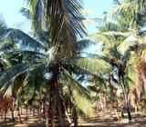 2.5 Acres Cultivated Land for Sale in Yakkala