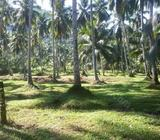 Land for sale with coconut cultivation
