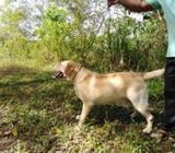 Kasl Labrador for Crossing