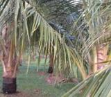 Coconut Land For Rent In Puttalam