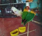 African lovebirds breeding pair
