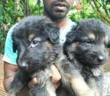 Original Lion German Shepherd Puppies