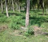 Coconut Land For Sale In Madampe