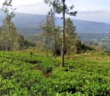 14 Acres Tea Land with Bungalow for sale at Hewaheta, Kandy.