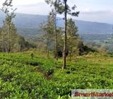 14 Acres Tea Land with Bungalow for sale at Hewaheta,