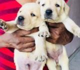 Labrador Puppies CKC