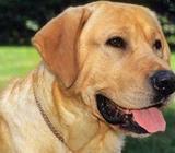 Labrador Dogs for Crossing-Lulu Kennels