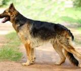 CKC German Shepherd Dog for Crossing