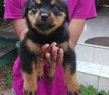 Rottweiler Puppies (CKC Registered