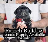female french bulldog puppy for sale