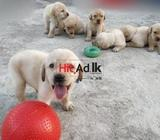 purebred labrador puppies for sale to kind and loving families