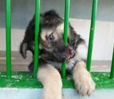 Original Lion Shepherd Puppy