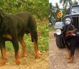 Rottweiler Crossing KASL