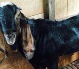 Jamunapari Original Goat