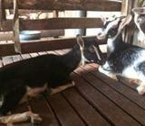 Alpain goat